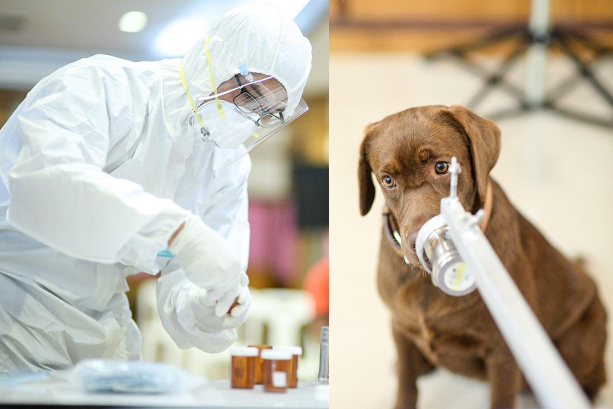 """朱拉隆功大學訓練出泰國第一批""""嗅探犬"""",能嗅出無症狀感染者 準確率高達94.8%(圖片來源:朱拉隆功大學)"""
